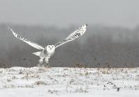 Frescura-Giovanni-Snowy-owl-2