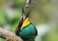 Elena-Bacchi-Bee-Eater-and-Dragonfly-A