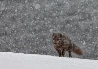Giovanni-Frescura-Black-arctic-fox-10