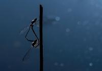 Daniele-Pavone-Dragonfly-back-light