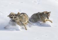 Giovanni-Frescura-Coyotes-fighting-3