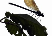 Calopteryx