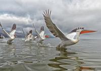 Giovanni-Frescura_Pellican-on-the-water-_2018_IN