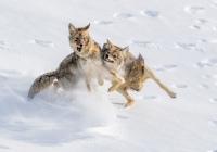 Giovanni-Frescura_Discussione-tra-coyote-2021
