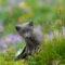 Giovanni Frescura - Arctic fox